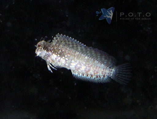 Lawnmower Blenny (Salarias fasciatus)