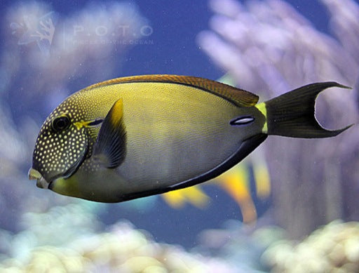 Freckled Face Tang (Acanthurus maculiceps)