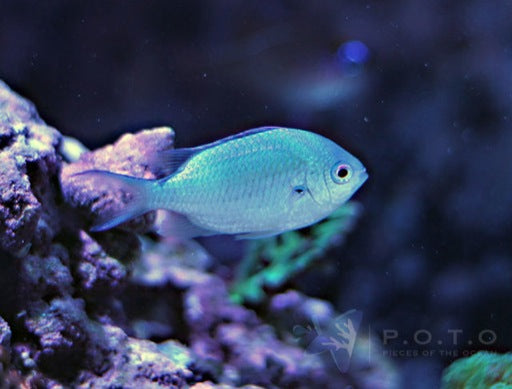 Bluegreen Chromis (Chromis Viridis)