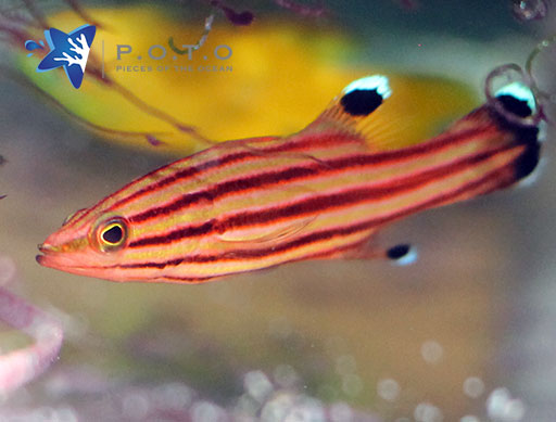 Swissguard Basslet (Liopropoma rubre)