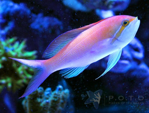 Carberryi Anthias (Nemanthias carberryi)