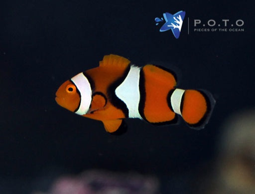 True Percula Clownfish (Amphiprion percula)