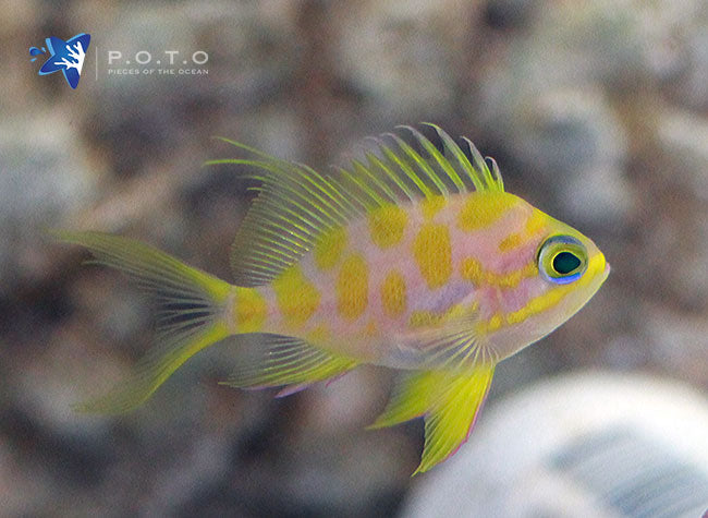 Borbonius Anthias (Odontanthias borbonius)