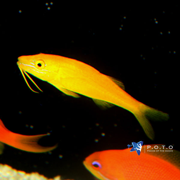 Yellow-saddle Goatfish (Parupeneus cyclostoma)