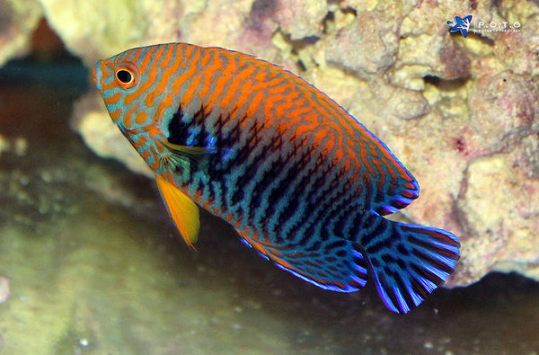 Potter's Angelfish (Centropyge potteri)