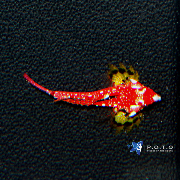 Ruby Red Dragonet Goby (Synchiropus sp.)