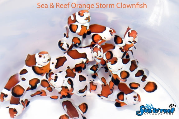 SR Orange Storm (Amphiprion ocellaris)