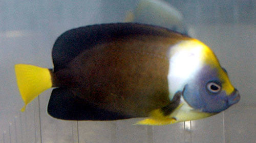 False Personifer Angelfish (Chaetodontoplus meredithi)