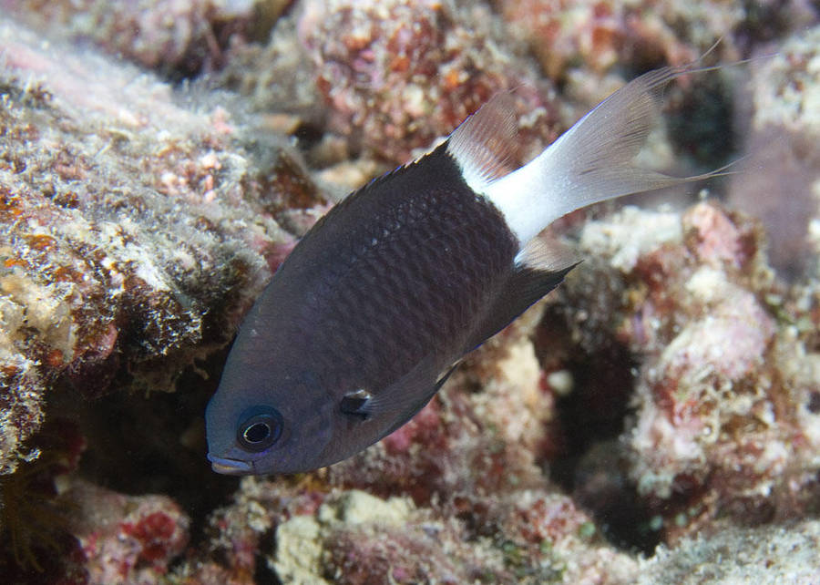 Black & White Chromis (Chromis margaritifer)