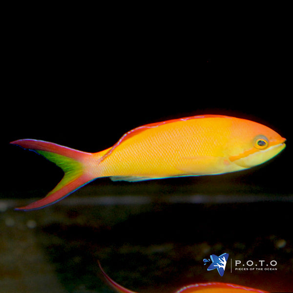 Dispar Anthias (Pseudanthias dispar)