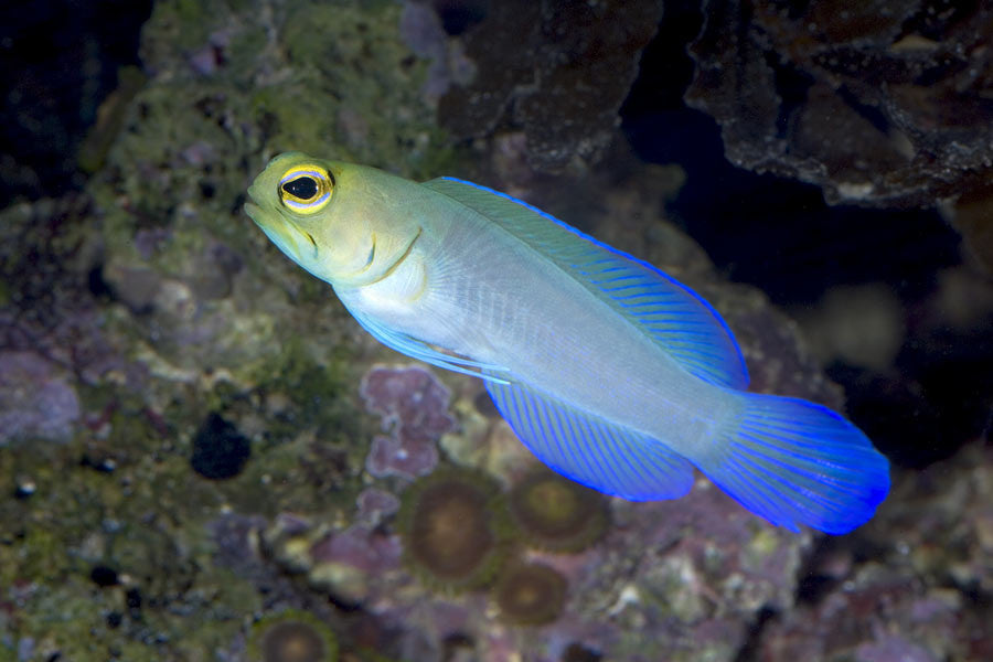 Pearly Jawfish (Opistognathus aurifrons)