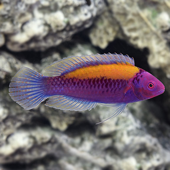 Orange-Back Fairy Wrasse (Cirrhilabrus aurantidorsalis)