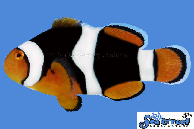 Sea & Reef Onyx (C-Quest line) (Amphiprion percula)