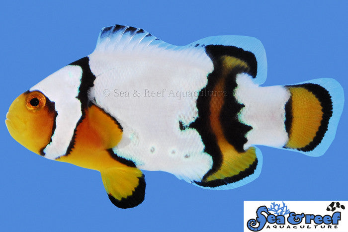 Sea & Reef Snow Onyx (Amphiprion ocellaris x percula)