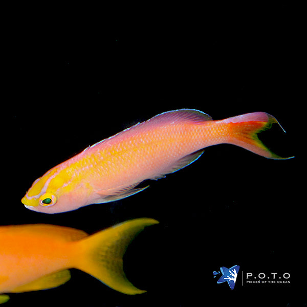 Sunset Anthias (Pseudanthias Parvirostris)