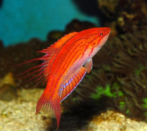 Carpenter Flasher Wrasse (Paracheilinus carpenteri)