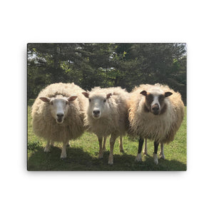 Canvas - Sheep Trio