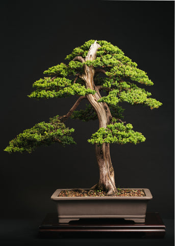 Juniper Procumbens Progression Article