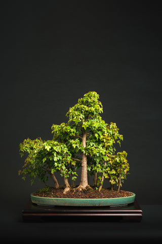 Developing and Refining Maples for Bonsai