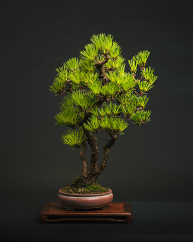 Wabi-Sabi and its relevance to Bonsai