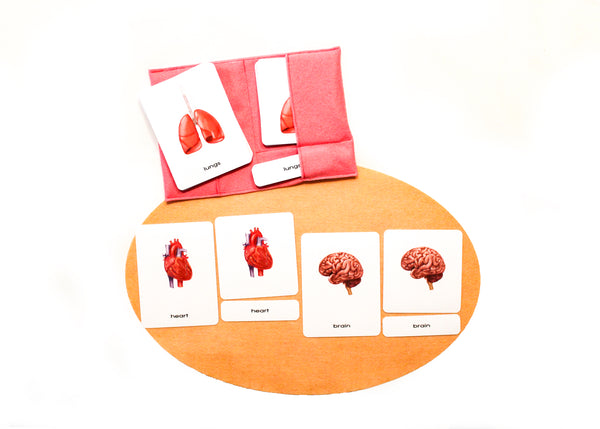 Human organs 3-part Montessori cards