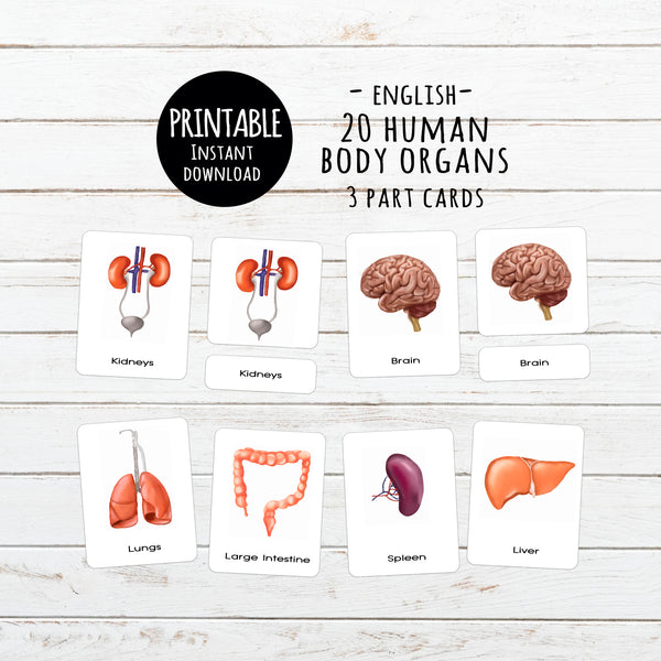 Digital Download, Human body organs, 3-part cards