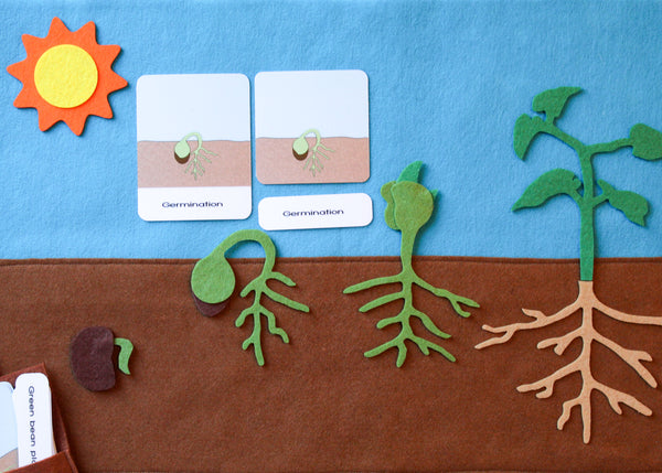 Life cycle of a bean plant and parts of a seed with 3-part cards