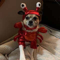 our harley pup dressed up as a lobster for halloween. the wiggly eyes on her head make the costume.