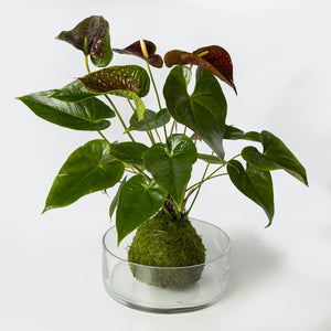 Red Anthurium Kokedama