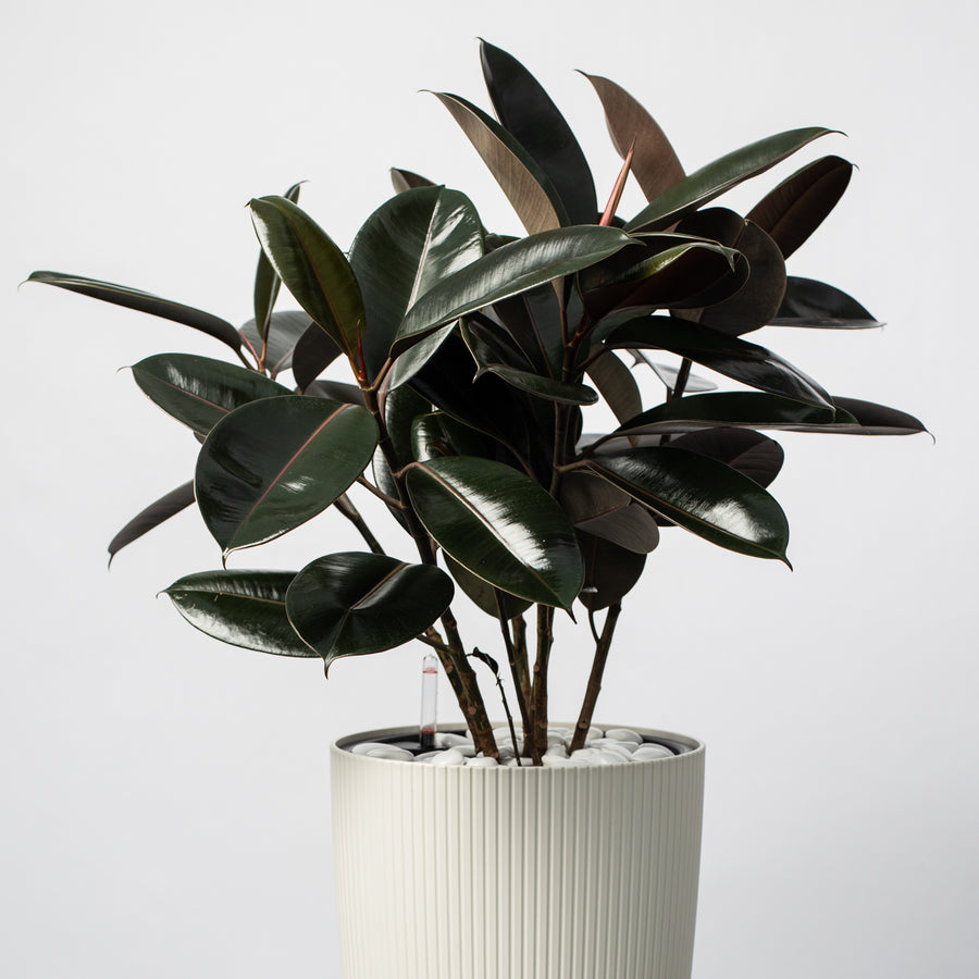 Rubber Plant With Irrigation System Planter