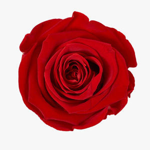 Royal Red Rose | Siena