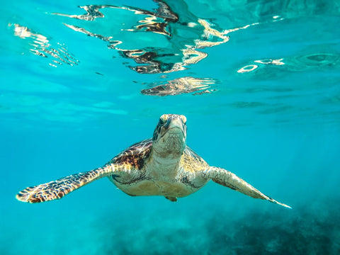 Collombatti Naturals Why we need to stop using single use plastics picture of turtle in the sea