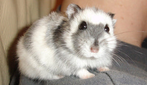 11 Ways Dwarf Hamster is Cooler Than Puppies & Kitties