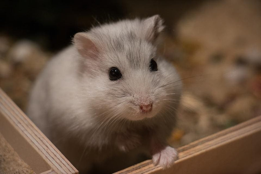 How Much Does A Dwarf Hamster Cost With Minimal Spending