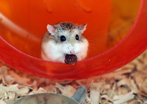 15 Secrets About Roborovski Hamster Facts That Nobody Will Tell You