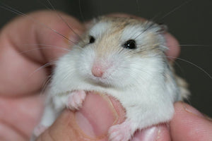 The 5 Secrets That You Shouldn't Know About Russian Dwarf Hamster Lifespan