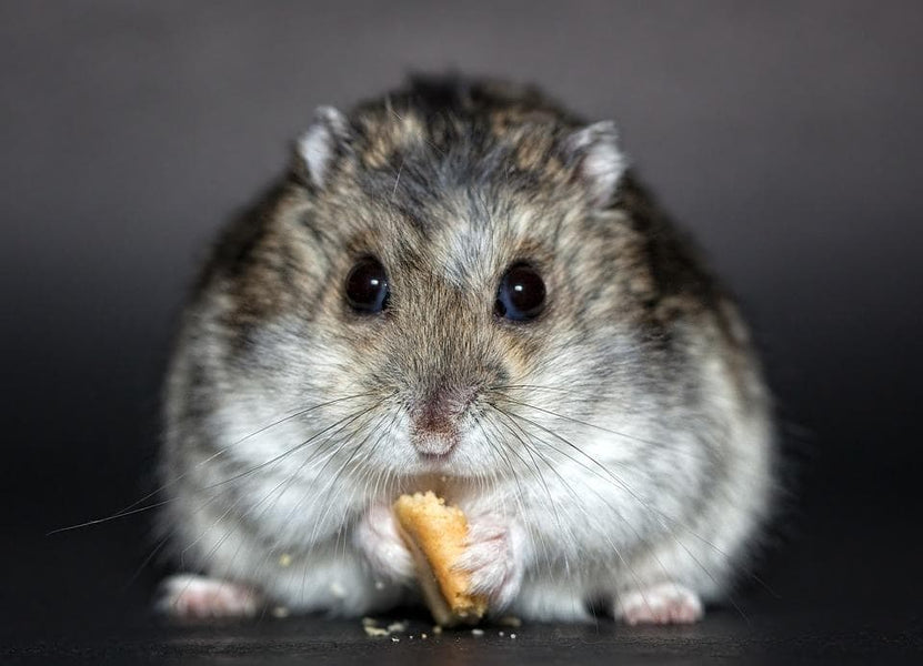 Russian Dwarf Hamster Price Are So Low That It Will Make Your Jaw Drop!