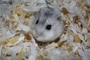 Everything You Ever Wanted to Know About Russian Dwarf Hamster