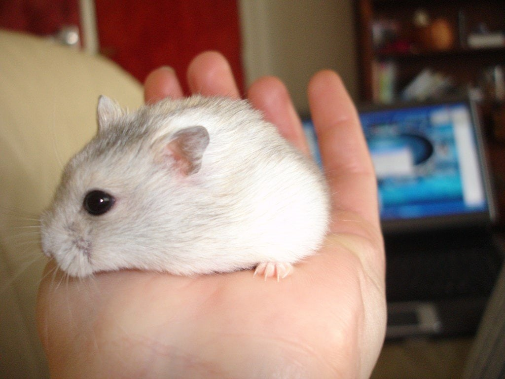 Danish, our Superhero Dwarf Hamster