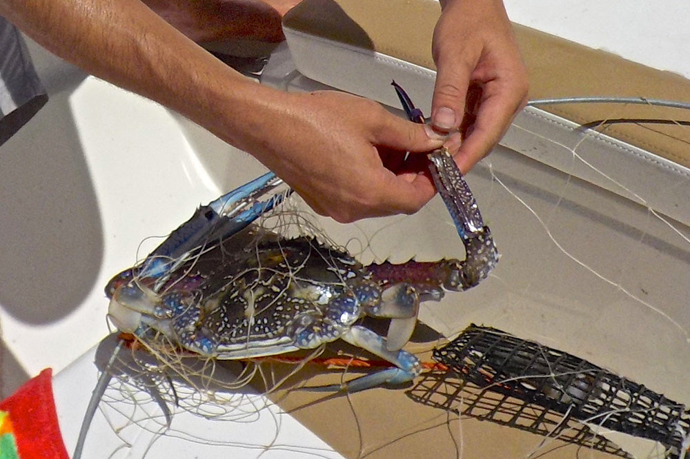 catching-blue-swimmer-crabs-pic2