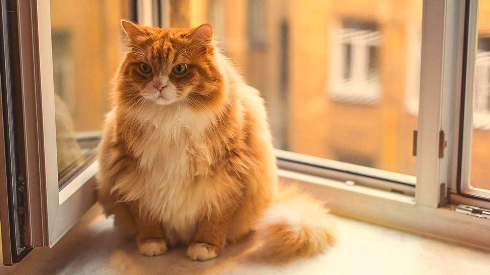 Obesity in Cats - Scruffy Paws Nutrition