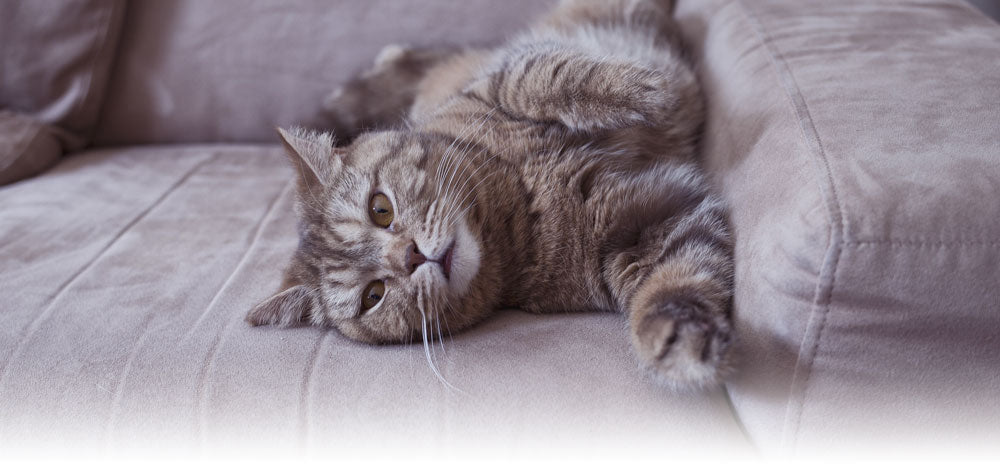The Problem with Joint Conditions in Cats - Scruffy Paws Nutrition