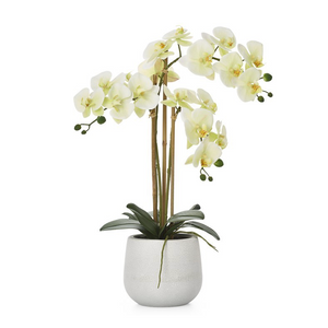 Phalaenopsis Triple Orchid - Yellow