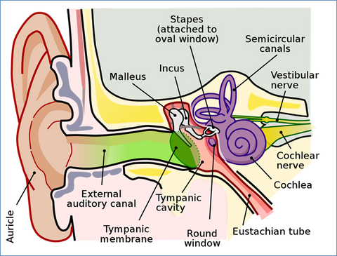 An inner-look at the ear and