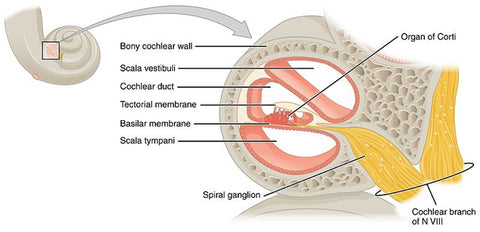 The inner chamber of the cochlea