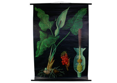 Arum Lily Scientific Botanical Wall Chart