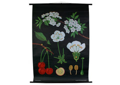 Cherry Blossom Scientific Botanical Wall Chart