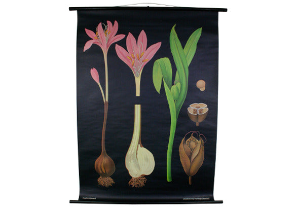 Meadow Saffron Scientific Botanical Wall Chart