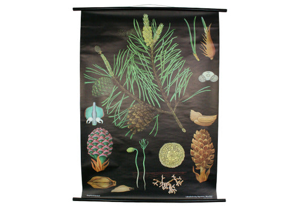 Pine Cone Scientific Botanical Wall Chart