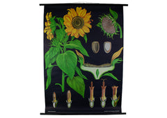 Sunflower Scientific Botanical Wall Chart